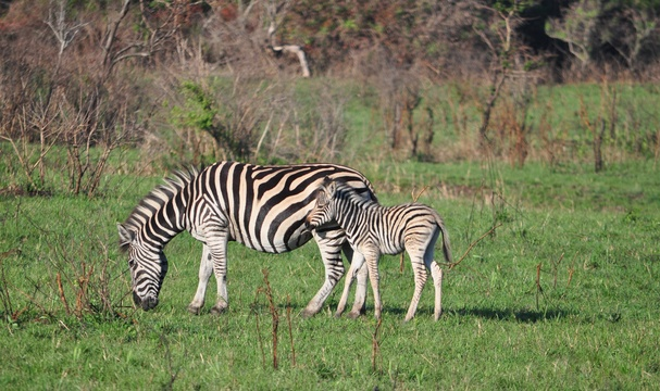 Plains Zebra, Kuleni Game Park, near Hluhluwe