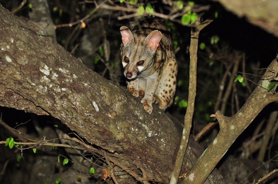 Large-Spotted Genet, Kuleni Game Park, near Hluhluwe
