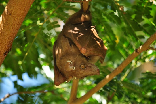Eppauletted Fruit-Bat, Kuleni Game Park, near Hluhluwe