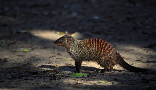 Banded Mongoose, Kuleni Game Park, near Hluhluwe
