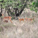 Impala, (Female with their young), Kuleni Game Park, near Hluhluwe