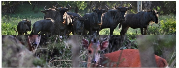 Wildebees and red duiker seen in Zululand at Bushwillow Collection and Kuleni Game Paek