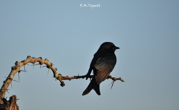 Fork-tailed Drongo, near Hluhluwe