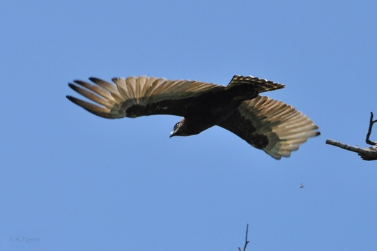 Brown snake-Eagle from below, Kuleni Game park, near Hluhluwe