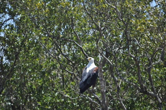 African Fish Eagle,  St Lucia estuary