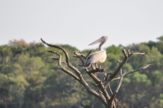Pink-backed Pelican,Status: Vulnerable, False Bay Park