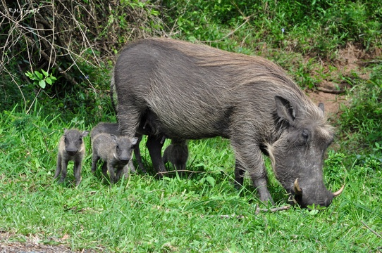 Common Warthog, Kuleni Game Park, near Hluhluwe