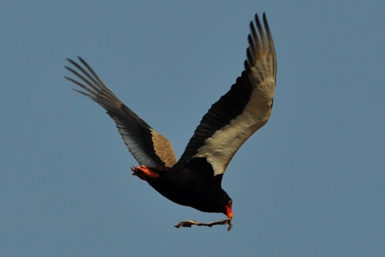 Bateleur-Male with a snake, Hluhluwe Game Reserve