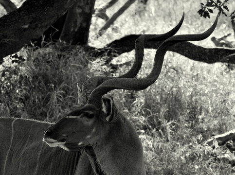 Greater Kudu (Male), Kuleni Game Park, near Hluhluwe