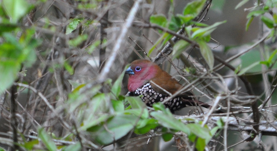 Pink-throated Twinspot, Kuleni Game Park, near Hluhluwe