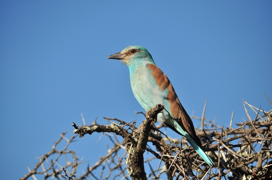 European Roller, Status: Near Threatened, near Hluhluwe