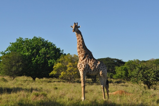 Giraffe (Male), Kuleni Game Park, near Hluhluwe