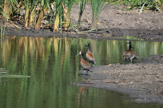 White-faced Whistling Ducks, Kuleni Game Park, Near Hluhluwe