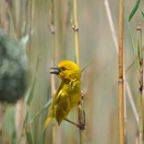 Yellow Weaver with nest, St Lucia estuary