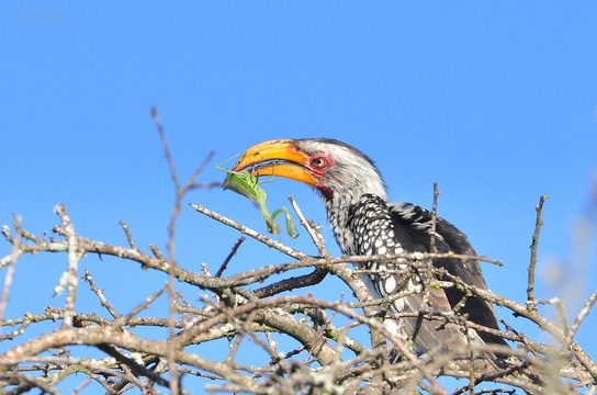 Southern Yellow-billed Hornbill, Mkuze Game Reserve