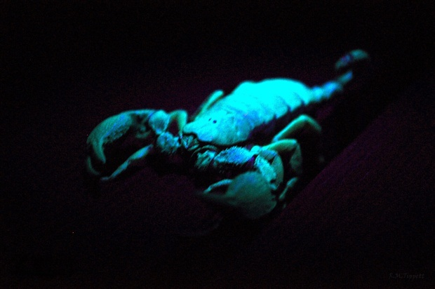 Scorpions flouresce under UV light during evening bush walks at Bushwillow Collection, near Hluhluwe, South Africa
