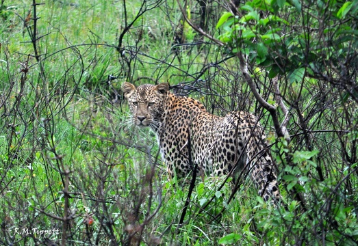 Leopard, Eastern Shores (Cape Vidal)
