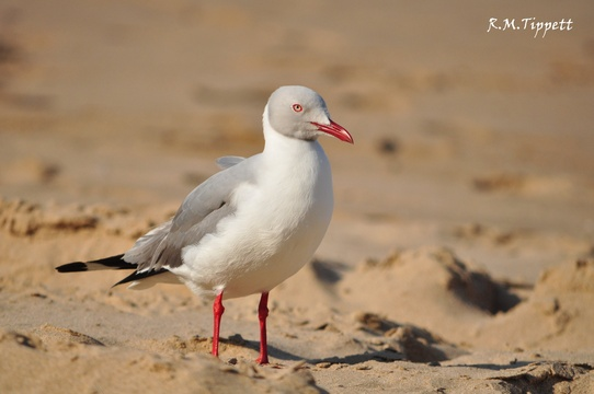 Grey-headed Gull, Cape Vidal beach
